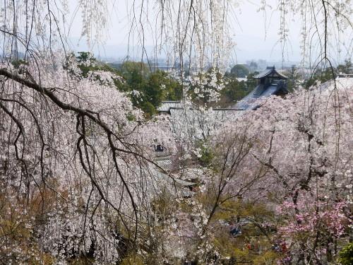 京都桜の名所